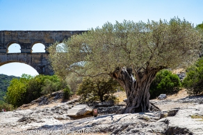 Olive tree planted in 908 CE